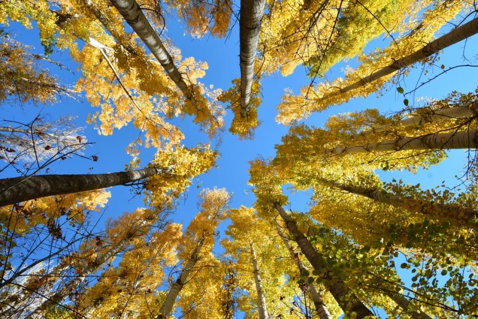 蓝天下仰望初秋的森林