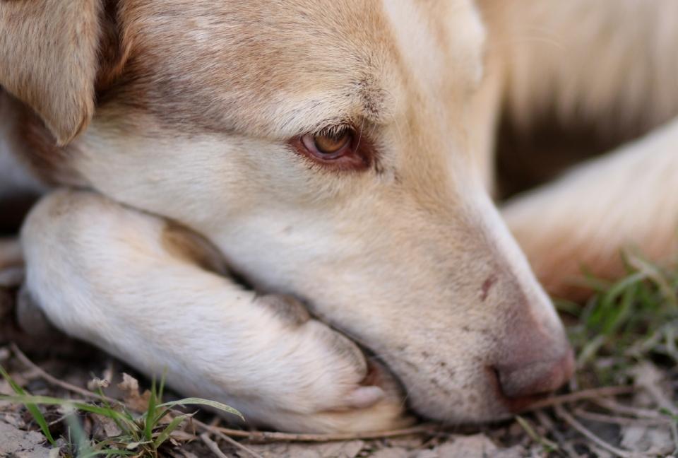 老婆与狗的情色生活_户外地面可爱棕色眼睛黄色宠物狗