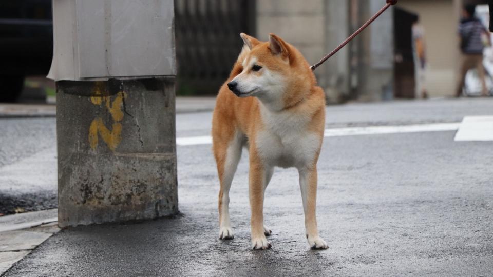 日本国犬秋田犬高清桌面壁纸