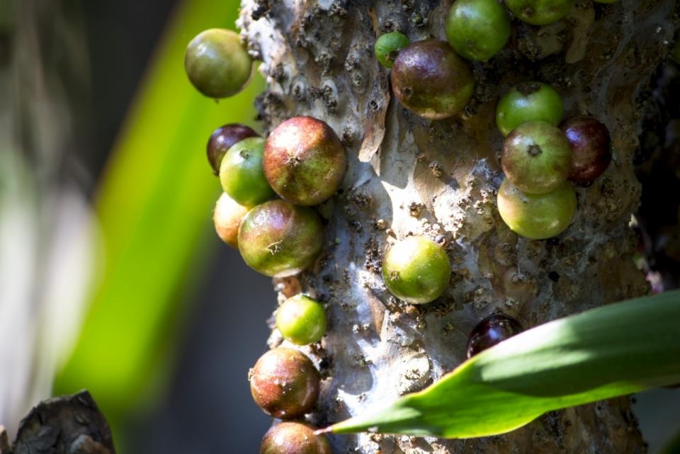 阳光下巴西葡萄树树干上自然嘉宝果水果