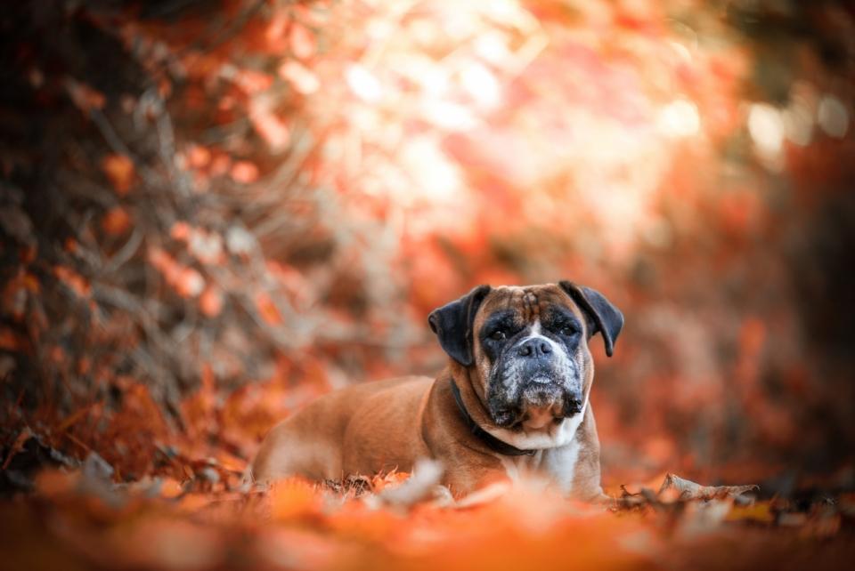 背景虚化枯黄落叶堆上的斗牛犬