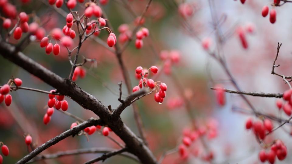 唯美植物山茱萸高清桌面壁纸