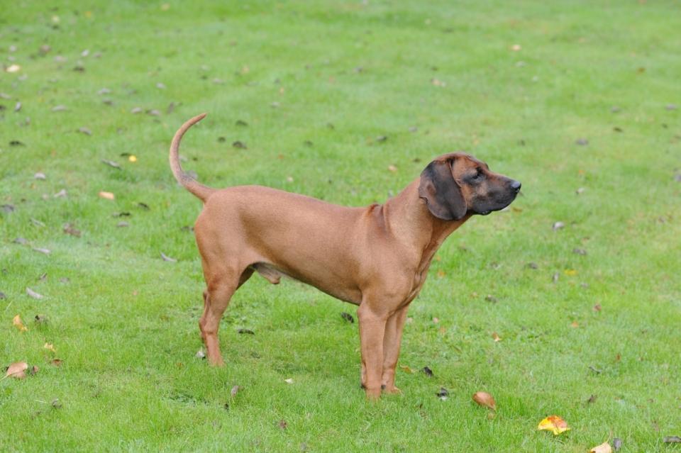 老婆与狗的情色生活_绿色自然草坪上黄色宠物狗侧面